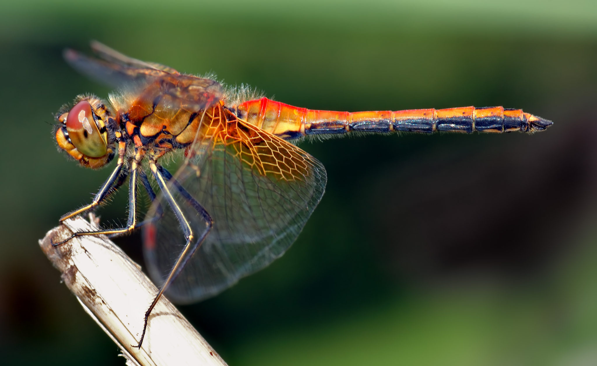 What's the Difference: Dragonfly vs Damselfly
