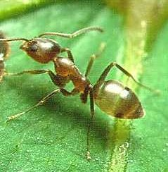 """Linepithema Argentine ant"" by Penarc - {http://en.wikipedia.org/wiki/Image:Argentine_ant.jpg Nat1192}. Licensed under GFDL via Commons."