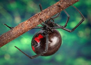 """Black widow spider 9854 lores"" by James Gathany - http://phil.cdc.gov/phil/. Licensed under Public Domain via Wikimedia Commons."