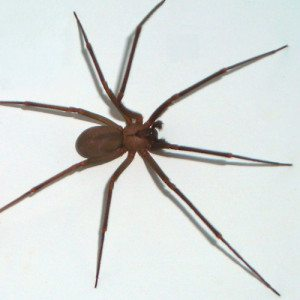 Wikipedia_Common_Brown-recluse 500x500