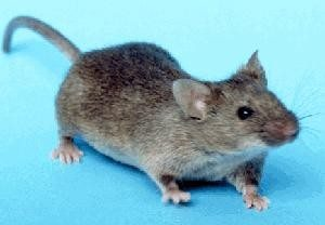 Wikipedia_Common_House_mouse 300x208