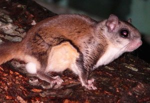 Wikipedia_Common_Southern_Flying_Squirrel-27527-1 492x340