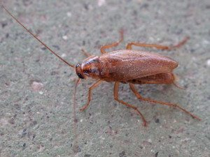 """Blattodea. Cascuda. Santiago de Compostela 1"" by Lmbuga - Own work. Licensed under CC BY-SA 3.0 via Commons."