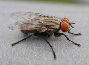 """House Fly"" by Julia Wilkins - Own work. Licensed under CC BY-SA 3.0 via Wikimedia Commons."