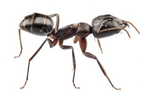 Carpenter Ant species camponotus vagus in high definition with extreme focus and DOF (depth of field) isolated on white background with clipping path