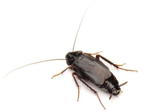 Fact or Fake: Are cockroach allergies real?